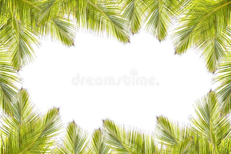 Grön kokosnötsidaram som isoleras på vit bakgrund arkivbild