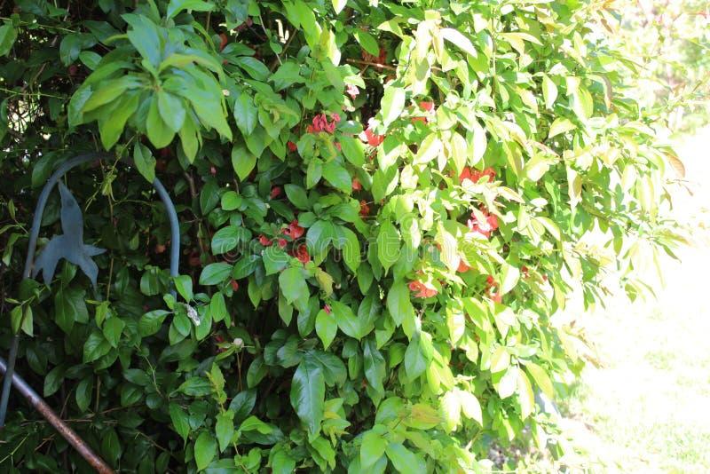 Grön kolibri för Bush röd blommametall royaltyfri foto