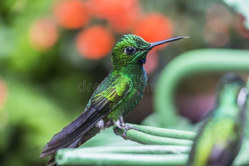 Grön kolibri i Costa Rica fotografering för bildbyråer