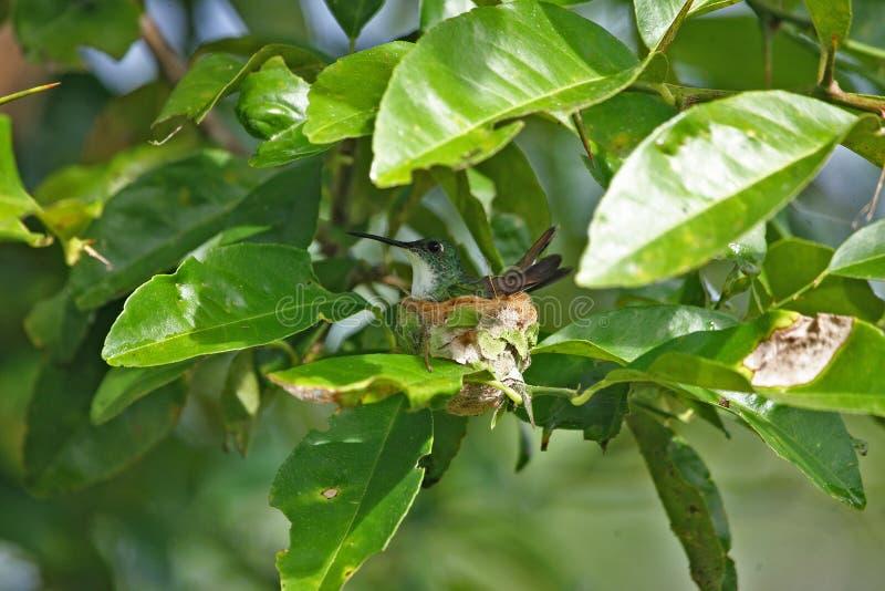 Grön kolibri i dess mycket lilla rede, Venezuela royaltyfri foto