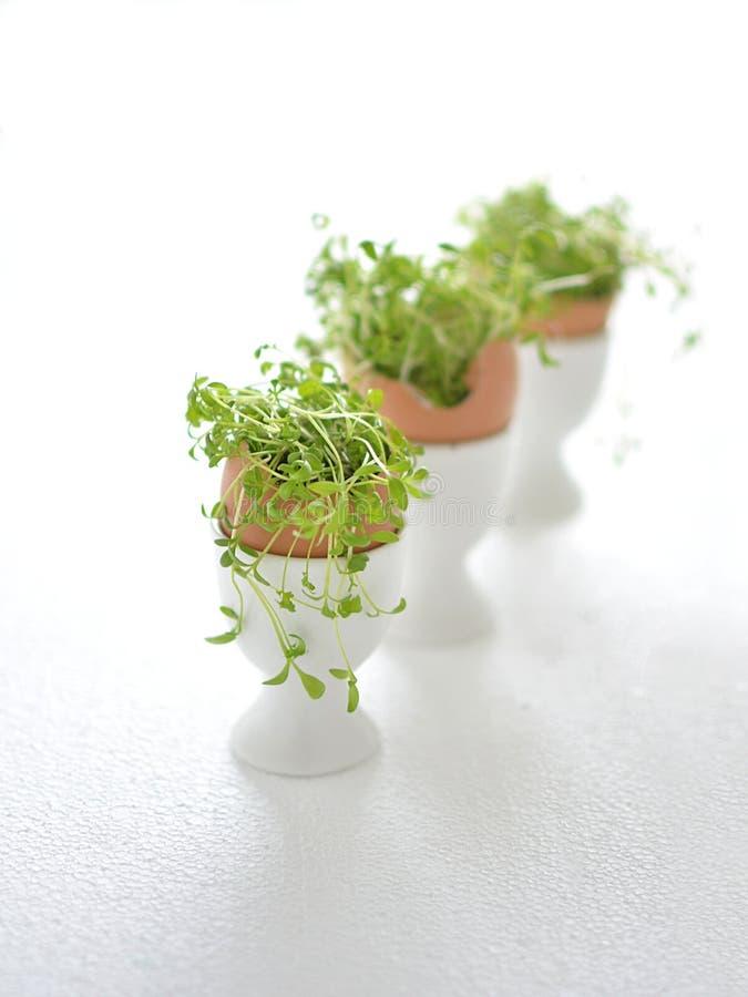 Grön kryddkrasse i äggskal royaltyfri bild