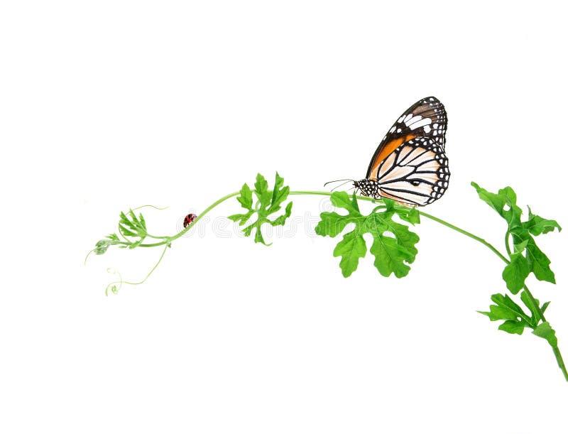 Grön krypa växt med fjärilen och nyckelpigan på den vita backgroen royaltyfria foton