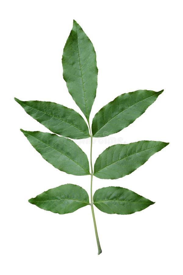 grön leaf för aska arkivfoto