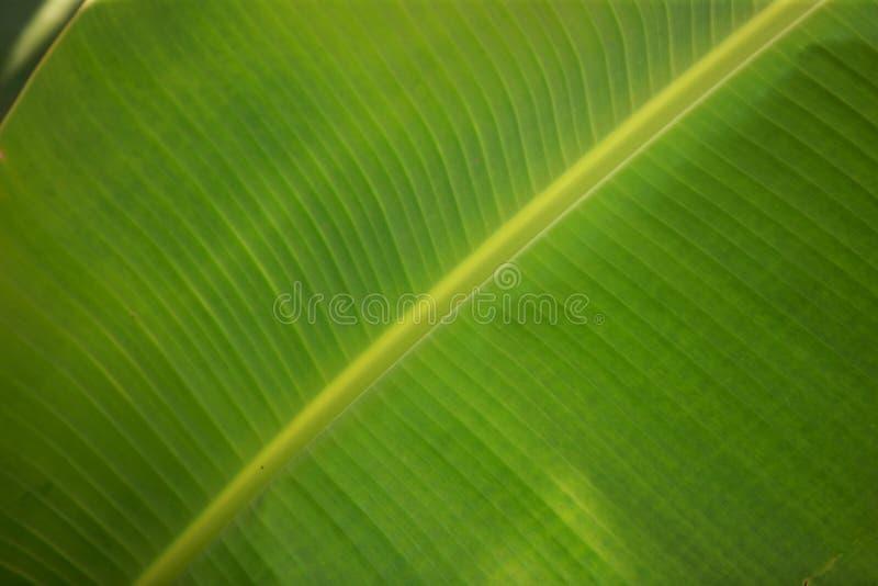 grön leaf för banan fotografering för bildbyråer