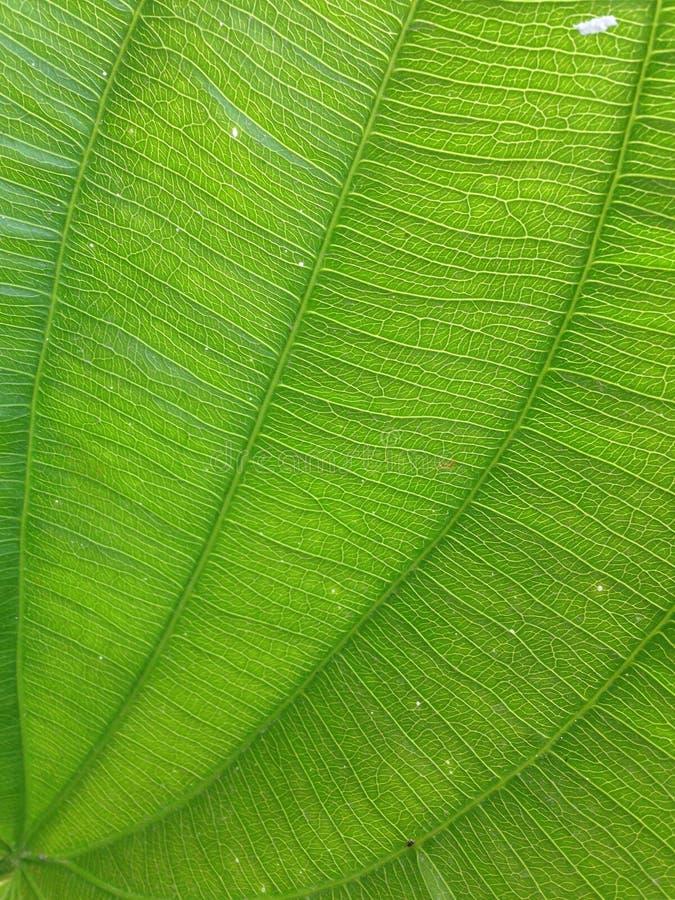 grön leaf för detalj royaltyfri foto