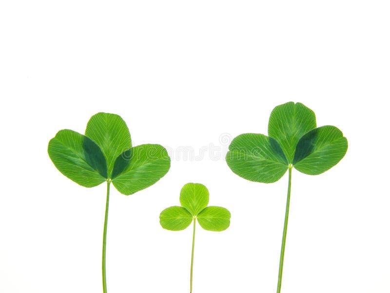 grön leaf för växt av släkten Trifolium royaltyfria foton