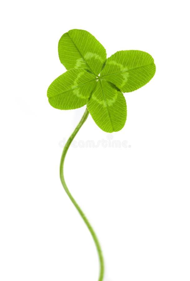 grön leaf för växt av släkten Trifolium fyra royaltyfria bilder