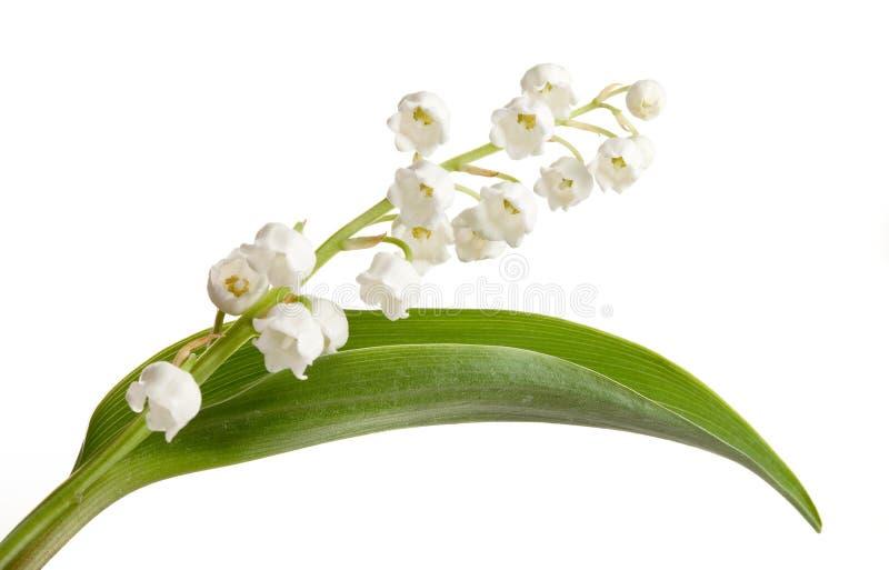 grön leaf lilly royaltyfria bilder
