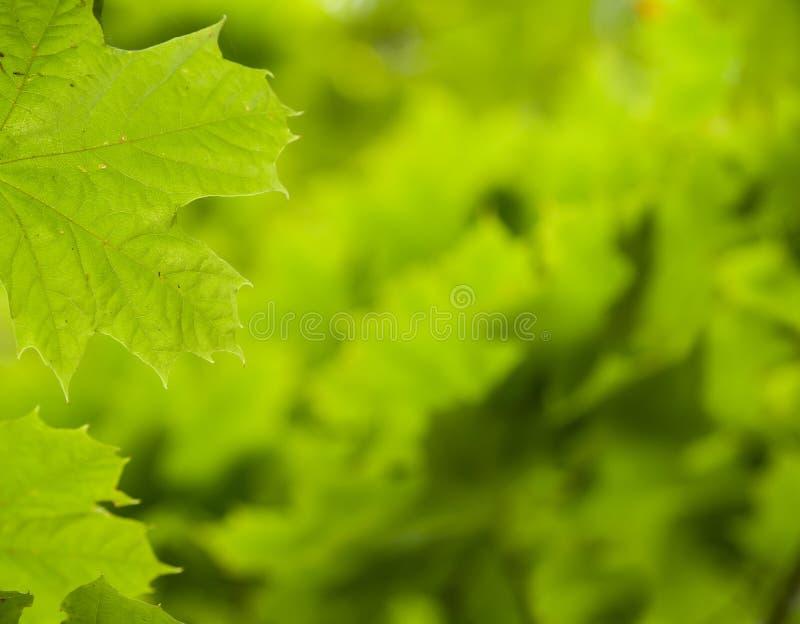 Grön leafbakgrund royaltyfria bilder