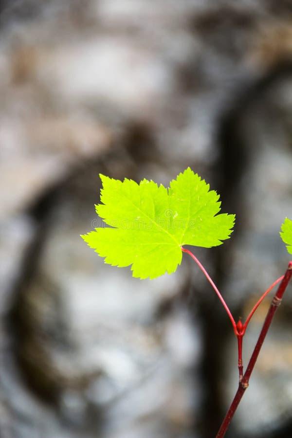 grön leaflönn royaltyfri foto