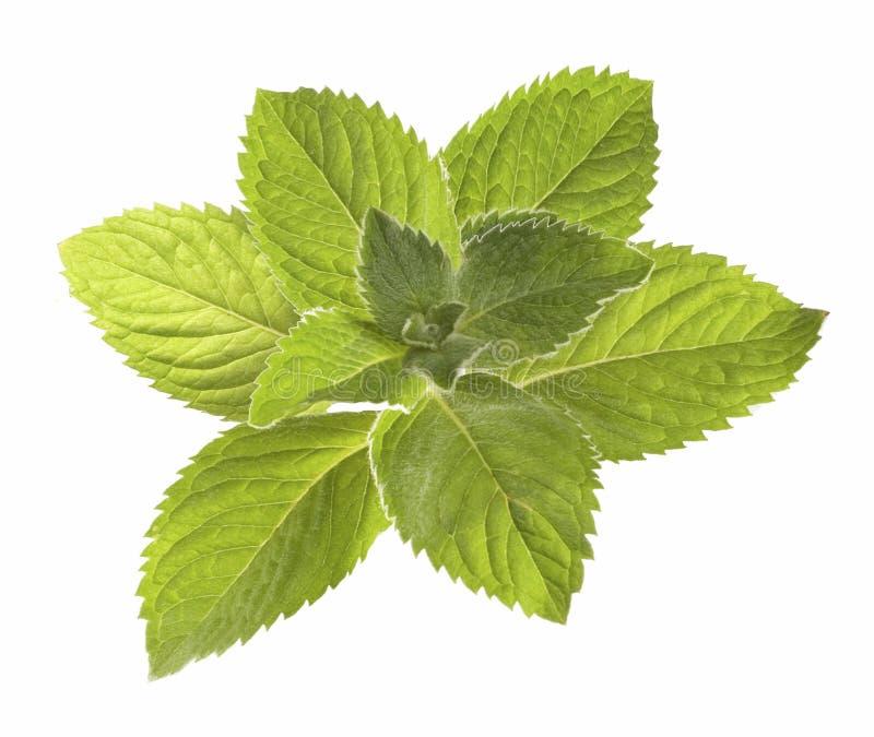 grön leafmint royaltyfri foto
