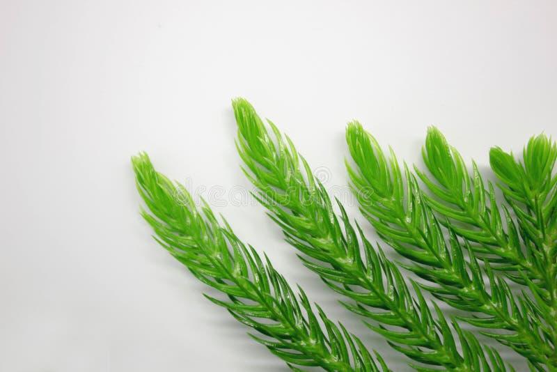 grön leafwhite för bakgrund royaltyfria bilder