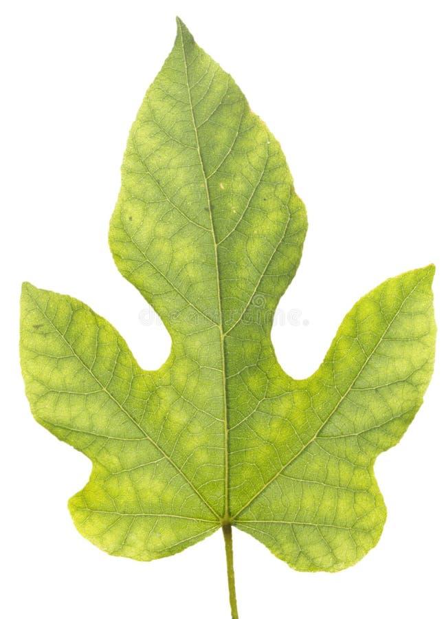 grön leave royaltyfri foto