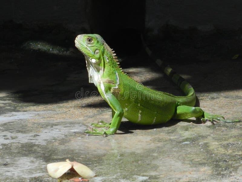 grön leguan royaltyfria foton