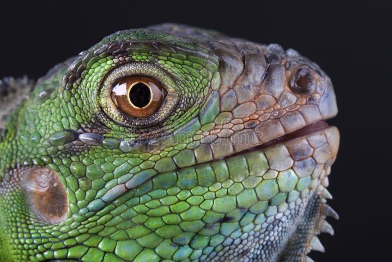 grön leguan arkivfoto