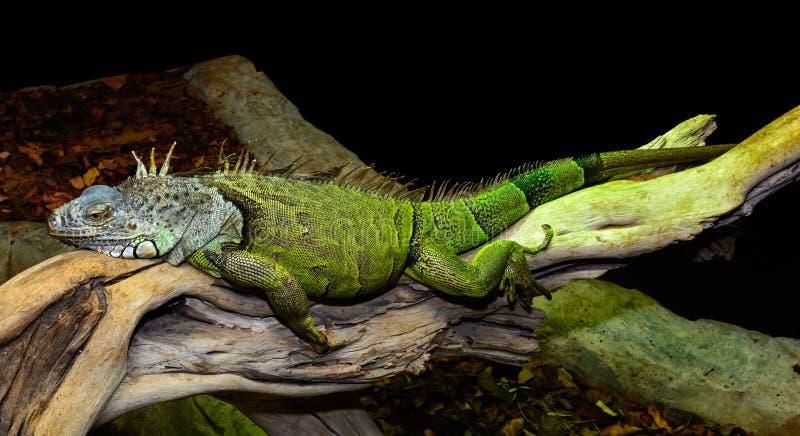grön leguan royaltyfri foto