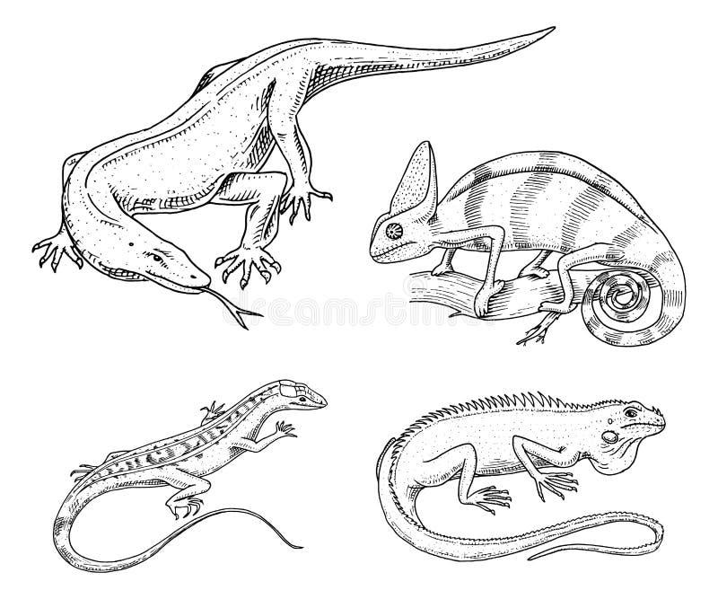 Grön leguan för för kameleontödla, amerikan, reptilar eller ormar eller bildskärm för Komodo drake växtätande art vektor royaltyfri illustrationer
