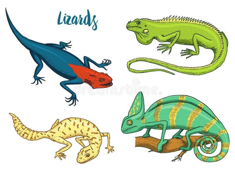 Grön leguan för för kameleontödla, amerikan, reptilar eller ormar eller prickig fett-tailed gecko växtätande art vektor vektor illustrationer