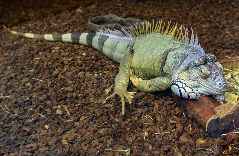 Grön leguan för singel som är bekant också som amerikansk leguan i zoologiskt fotografering för bildbyråer