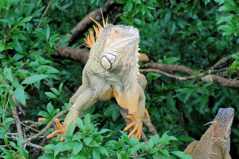"""Grön leguan i ett träd - stor art av ödlan - Central America †""""Costa Rica royaltyfri foto"""