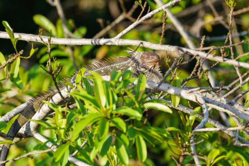 Grön leguan ( Leguan iguana) i Costa Rica arkivbild