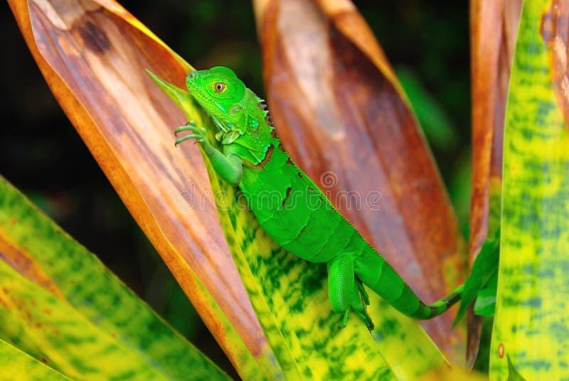 grön leguanrica för costa royaltyfri bild