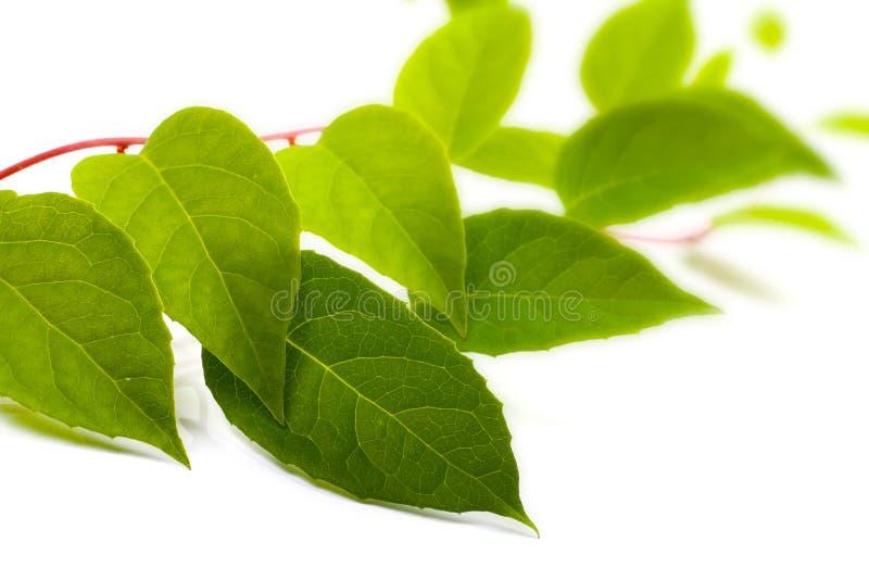 Grön lianväxt på vit fotografering för bildbyråer