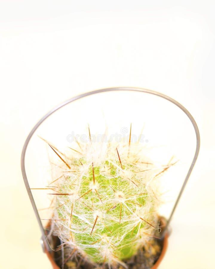 Grön liten kaktus arkivbild