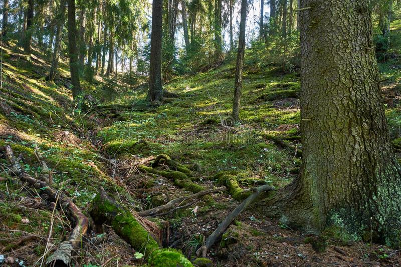 Grön liten vik i gammal skog royaltyfri bild