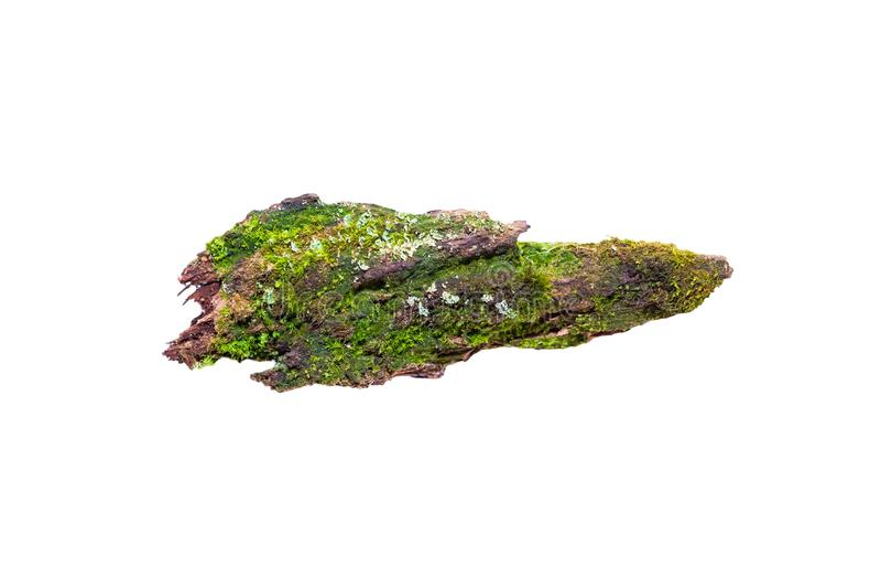 Grön ljus ny mossa växer på ett stycke av gammalt ruttet trä som isoleras på vit bakgrund, arkivbilder
