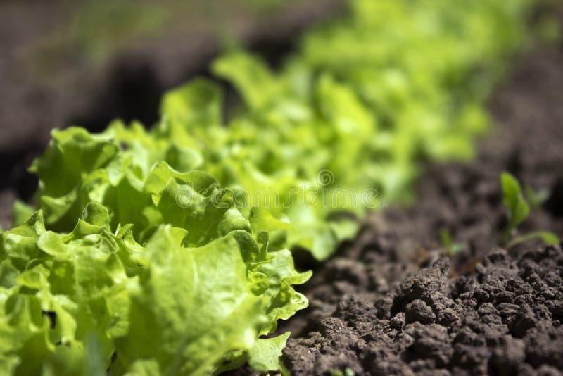 Grön lockig sallad som växer i trädgården som växer sund vegetarian för mat royaltyfria bilder