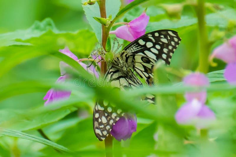 Grön lodjurspindel med fjärilsbyte royaltyfri foto