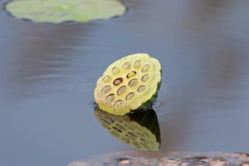 Grön lotusblomma kärnar ur fröskidan med reflexion i dammet Sommar i thailändskt arkivbild