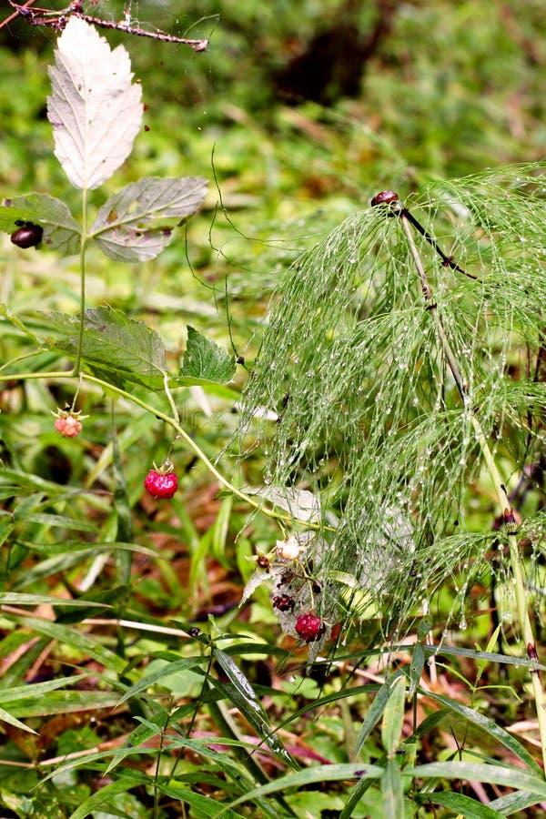 Grön luftbuske med dagg i form av paraplyer Nära röda hallon och det finns par av sniglar royaltyfria bilder