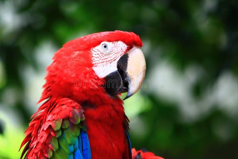 grön macawred arkivfoto