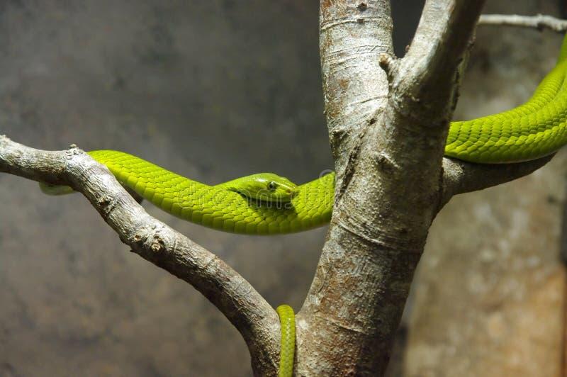 grön mamba fotografering för bildbyråer