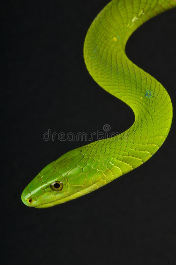grön mamba royaltyfria foton