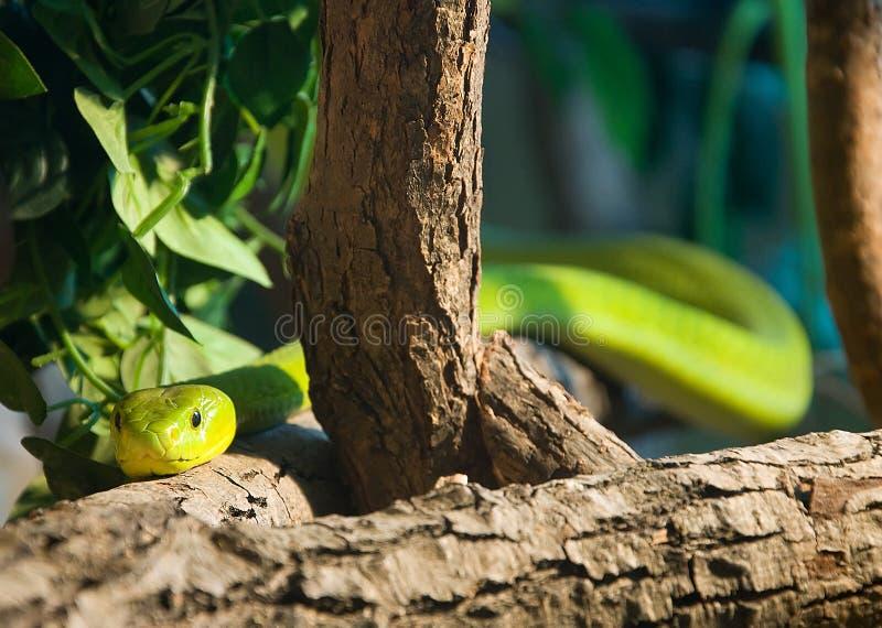 grön mamba royaltyfri fotografi