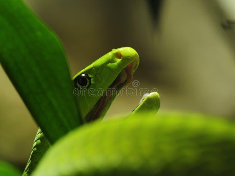 grön mamba för angusticepsdendroaspis royaltyfri bild
