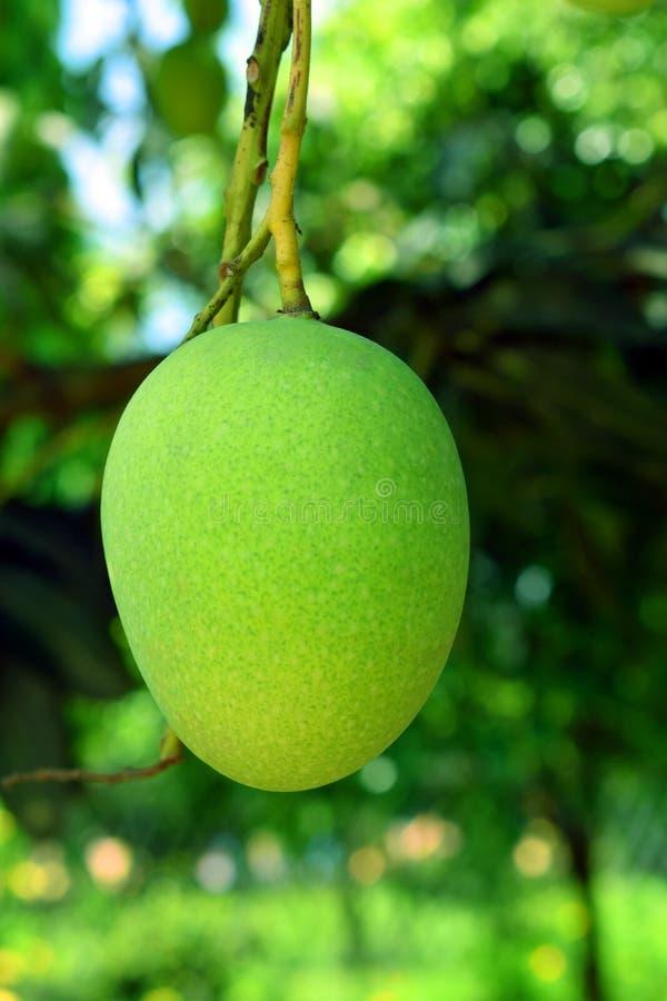 Grön mango i Bangladesh arkivbild