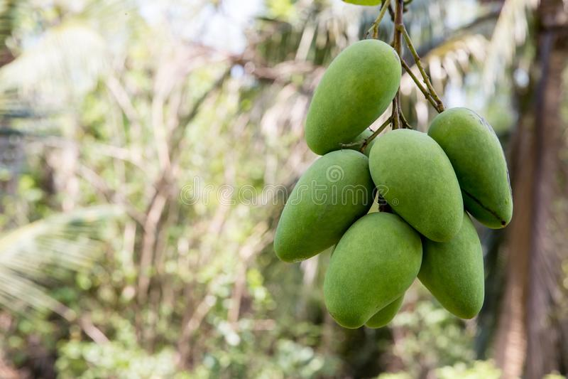 Grön mango som hänger, mangofält, mangolantgård Jordbruks- begrepp, jordbruks- branschbegrepp Mangofrukt på trädet i trädgård royaltyfri bild