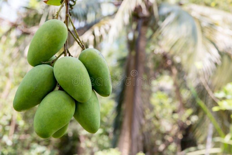 Grön mango som hänger, mangofält, mangolantgård Jordbruks- begrepp, jordbruks- branschbegrepp Mangofrukt på trädet i trädgård royaltyfri foto