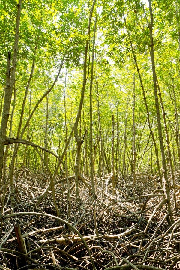 grön mangrove för skog royaltyfri fotografi