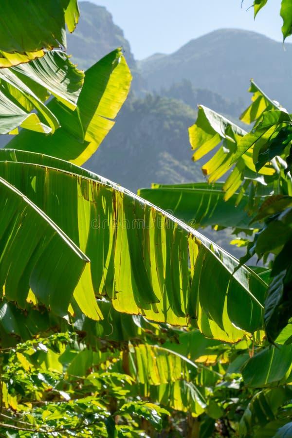 Grön mogen exotisk frukt för cherimoya eller för glass med smaklig frukt arkivfoton