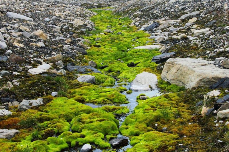 Grön moss som växer på Spitsbergen (Svalbard) arkivfoto