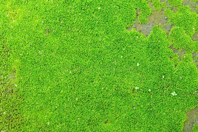 Grön mossa royaltyfria foton