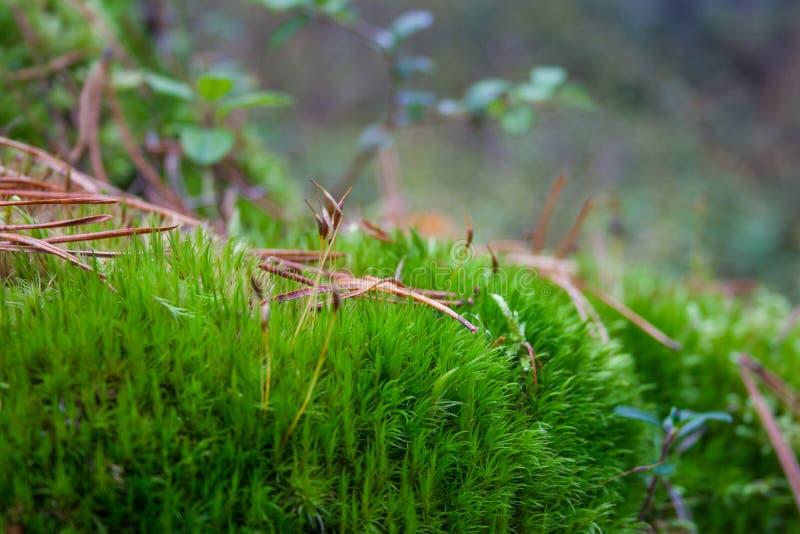 Grön mossa i skogen arkivbild