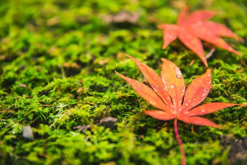 Grön mossa med den röda lönnlövJapan hösten royaltyfria foton