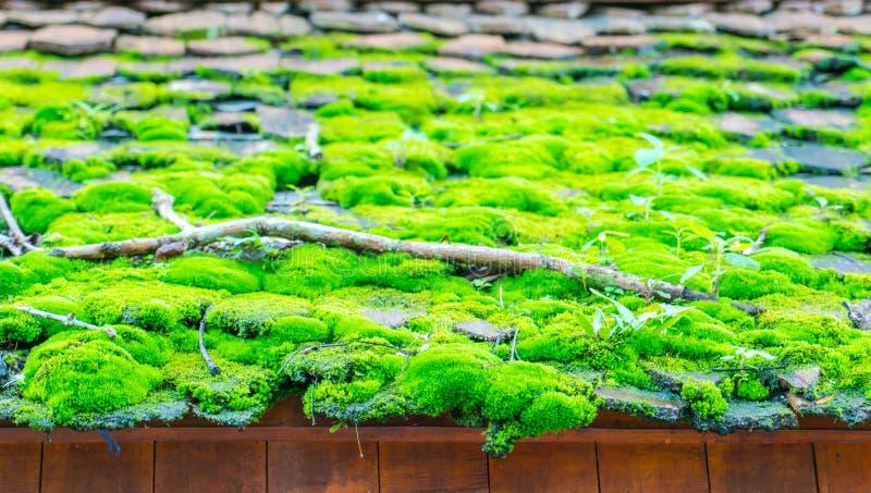 Grön mossa på det wood taket arkivbilder