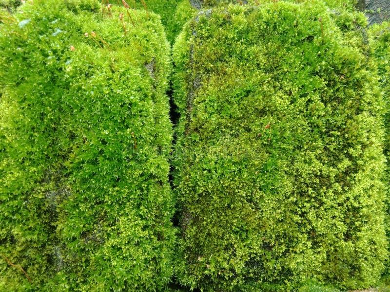 Grön mossa på tegelstenen, texturerad bakgrundstapet royaltyfria foton